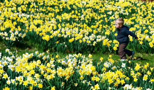 Running through the daffodils