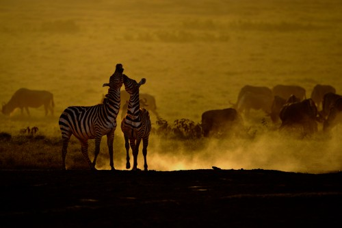 Zebras Cavorting at Sunset